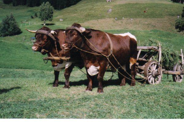 Kutsche mit Pinzgauer Ochsen